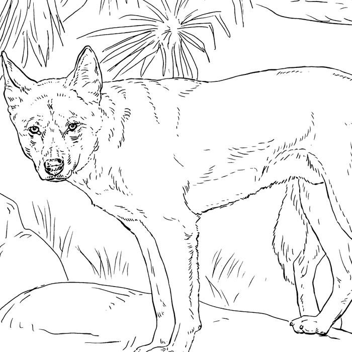 Dingo colour in